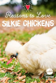 Silkie Chickens are a wonderful breed! They have super sweet personalities, love a good cuddle and are an all round fabulous chook. Here are more reasons to love these chickens, http://www.backyardchickencoops.com.au/5-reasons-to-love-silkie-chickens #loveyourchickens #loveable #silkiechickens