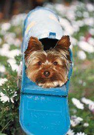 Miniature Yorkshire Terrier: Audrey Hepburn and her Yorkshire Terrier Mr. Famous #yorkshireterrier
