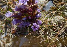 Цветы, Архыз 2100 м