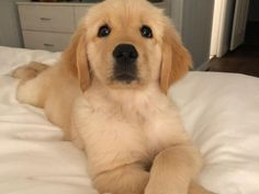 Astonishing Everything You Ever Wanted to Know about Golden Retrievers Ideas. Glorious Everything You Ever Wanted to Know about Golden Retrievers Ideas. Super Cute Puppies, Cute Baby Dogs, Cute Little Puppies, Cute Dogs And Puppies, Cute Baby Animals, I Love Dogs, Doggies, Cutest Dogs, Lab Puppies
