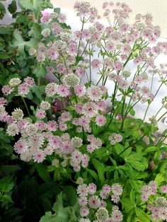 stjärnflocka Front Door Porch, Astrantia, My Secret Garden, Garden Inspiration, Garden Plants, Exterior Design, Perennials, Fall Wedding, Jaguar
