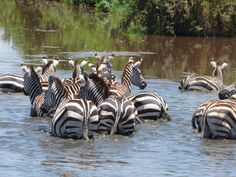 Zebras in the pool at Tarangire National park, Tanzania