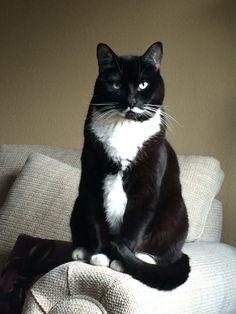 Beautiful tuxedo cat