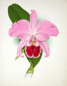 cattleya botanical drawing - Google Search