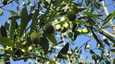 Olives in the sky
