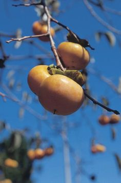 How to Grow Persimmons From Seed-going to try this with seeds from Baka's tree