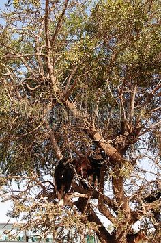 10062637 -    MOROCCO, NEAR AGADIR, GOATS FEEDING IN ARGAN TREE Argania spinosa...