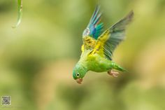 Orange-chinned Parakeet by Phoo (mallardg500) Chan on 500px