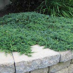 image de Juniperus horizontalis Wiltonii