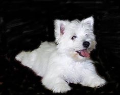 westie puppy...reminds me of our dog, Scotchie. It's been 11 years and I still miss him terribly!