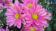 #flowers #krisan #pink #yellow #green #imogiri #bantul #yogyakarta #diy by coxiucox