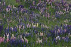 One of the more attractive features of Punta Arenas - lupins everywhere!