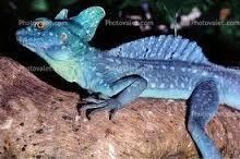 basilisk lizard - Google Search