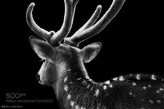 glorious - Pinned by Mak Khalaf out of my series ANIMALS http://ift.tt/1kaLELq Animals b&wblackdeersigmasonystagwildlifewolf ademeit by WolfAdemeit