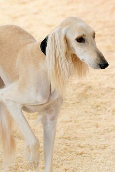 Saluki. Beautiful animals. Many are being rescued from the Middle East where they are greatly abused.