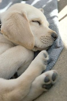 Yellow Labrador Puppy Sleeping So Peacefully. (looks just like my Chelsea girl!)