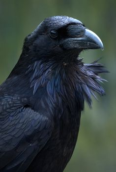 The raven is a big black bird, a member of the crow family. It is massive, bigger than a buzzard. It is all black with a large bill, and long wings. All Birds, Love Birds, Beautiful Birds, Beautiful Creatures, Fotografia Pb, Raven Pictures, The Crow, Crow Or Raven, Raven Wings