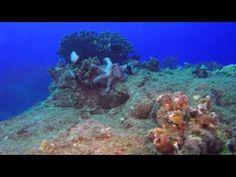Watch These Damselfish Mercilessly Harass an Octopus
