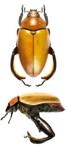 Heterosternus oberthuri