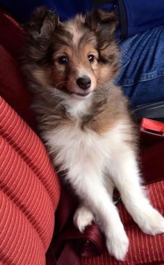 The Shetland Sheepdog originated in the and its ancestors were from Scotland, which worked as herding dogs. These early dogs were fairly Baby Animals Pictures, Cute Animals, Cute Puppies, Dogs And Puppies, Dog Dna Test, Shetland Sheepdog Puppies, Herding Dogs, Collie Dog, Puppy Care