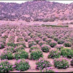 مزارع الورد في الطائف Farmland Outdoor Water