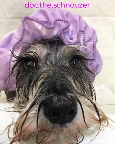 "261 Likes, 24 Comments - Doc the Schnauzer (@doc.the.schnauzer) on Instagram: ""Dad said something about spa day. Riley @rileythemini told me that is code word for a bath! …"""