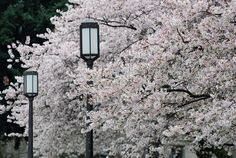 The unofficial start of spring in #Seattle: cherry blossoms at the University of Washington.