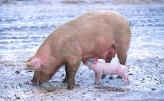 New virus transmission route discovered in pigs. Japanese Encephalitis (JE) virus causes serious inflammation of the brain in people and fertility problems in pigs. The virus can spread from pig to pig by direct contact.