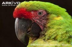 Great green macaw (Ara ambiguus) EN