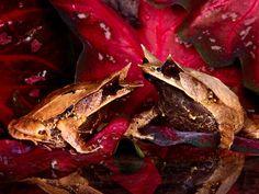 Sammakot - valokuvia ladata ilmaiseksi: http://wallpapic-fi.com/elaimet/sammakot/wallpaper-22732