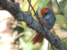 Foto pichororé (Synallaxis ruficapilla) por Carlos H.de Souza | Wiki Aves - A Enciclopédia das Aves do Brasil