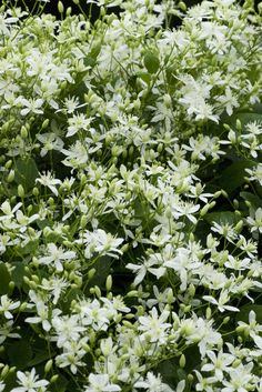 Sweet autumn clematis provides nectar for bees and the last of the butterflies.