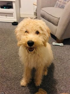 Six-month-old Waffle was stolen from his owner Cathryn Hussain, while the pair were out for a walk in St Austell, Cornwall, at on December 23 Farm Hero Saga, Labradoodle, Cornwall, Waffle, December, Puppies, Baking, Cubs, Bakken