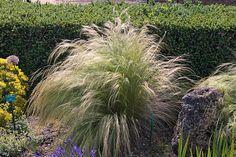 Stipa tenufolia