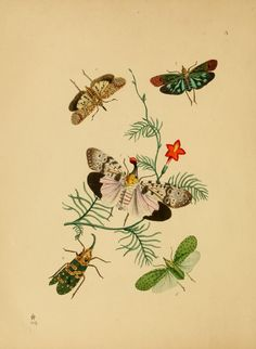 The cabinet of oriental entomology : - Biodiversity Heritage Library