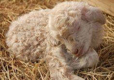 Precious lamb