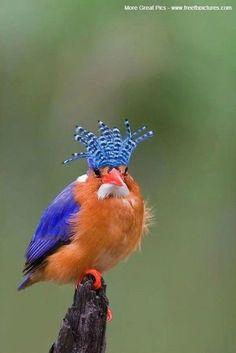 Malachite Kingfisher gorgeous