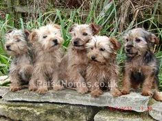 Jack Russell X Yorkie Awww Now these are sweet!