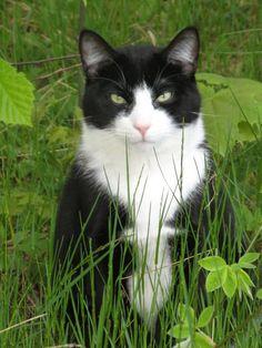 tuxedo cats #tuxedocats - Learnd more about Tuxedo cat personality at Catsincare.com