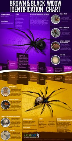 A awesome graphic illustrating the difference between the emerging brown widow vs the black widow