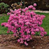 Shrubs Rhododendron Praecox - Evergreen Shrubs - Season Of Interest - Shrubs Garden Shrubs, Garden Plants, Flowering Bushes, Winter Flowering Shrubs, Deer Resistant Plants, Evergreen Shrubs, Garden Care, Garden Theme, Easy Garden