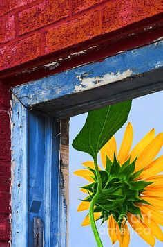 Sunflower through the window.  The red and  brick and decaying blue window frame are in contrast to the bright, fresh new giant sunflower viewed through the window frame. A digital composite image for artistic effect. Click twice on the image to see samples of how it would look framed or on canvas and for purchase options. Thank you for looking at my art.
