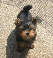 yorkies puppies - Google Search