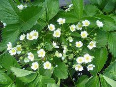 Чем удобрить клубнику во время цветения Plants, Garden