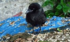 A foundling magpie