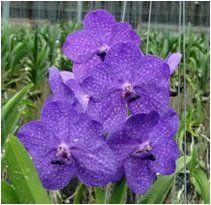 Ascocenda Princess Mikasa Blue,  orchids