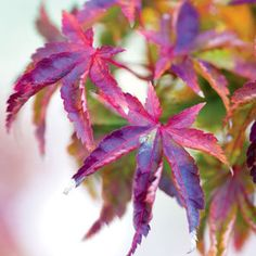 Pruning a Japanese Maple | Rodale's Organic Life