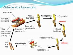 Ascomycota (ascomicetos): Crescem em troncos em decomposição, desenvolvem-se sob o solo, geralmente formando micorrizas com raízes de algumas árvores, como o carvalho e a faia. podem reproduzir-se assexuadamente por brotamento, por bipartição, ou formam esporos por mitose na extremidade de hifas, No ciclo de vida de Saccharomyces cerevisiae, há ascos com apenas quatro ascósporos e não há formação de corpo de frutificação. Nos demais ascomicetos, os ascos organizam-se em ascocarpos