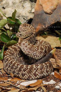 Guarico Rattlesnake - Crotalus durissus pifanorum   Flickr - Photo Sharing!