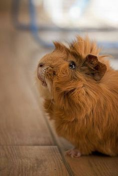 Brown abyssinian guinea pig